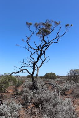 Arid tree a RS rot