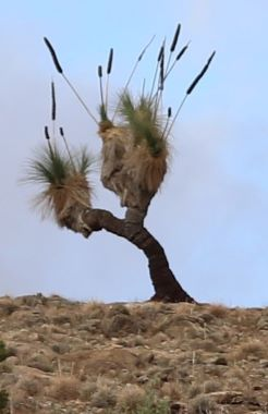 grass tree RS